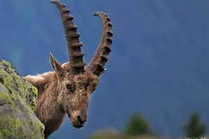Male alpine Ibex.