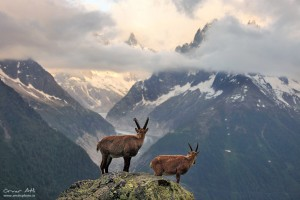Two adolescent male alpine Ibex´s fighting.