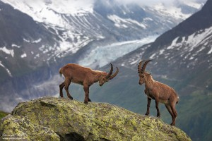Alpine Ibex fighting near Chamonix, France.
