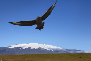 Great Skua and Öræfajökull.