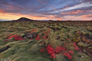 Blueberry grass fall colors at sunset. Icelandic Lava Field.