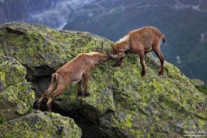 Two adolescent male alpine Ibex´s fighting near Chamonix, France.