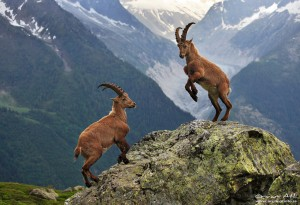 Two adolescent male alpine Ibex´s near Chamonix, France.