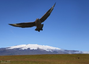 Great Skua attacking with another lining up with Öræfajökull in the background.