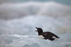 Bewildered Razorbill chick screaming for its parents at Jökulsárlón.