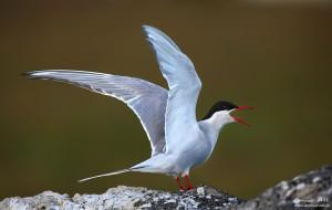 An angry Arctic Tern at Vík.