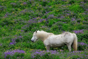 One happy horse eating vegetation near Seljalandsfoss.