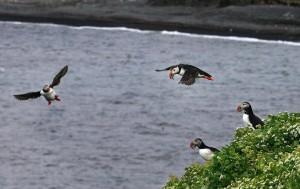 Puffins in Flight at Tjörnes.