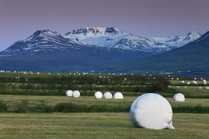 Hey Bills at Eyjafjörður Farmland near Akureyri.