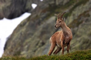 Female alpine Ibex.