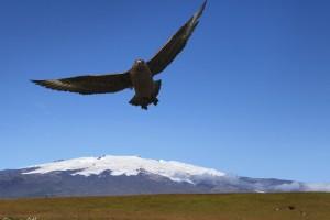 Great Skua and Öræfajökull.