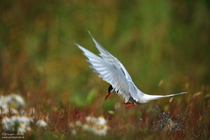 Arctic Tern landing near its hidden chick.