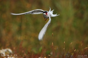Angry Arctic Tern ready to strike.