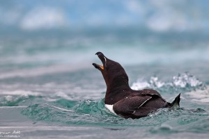 Razorbill calling for its chick.